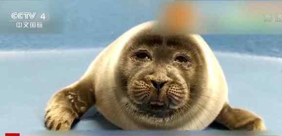 日本小海豹酷似大叔脸爆红 画面搞笑