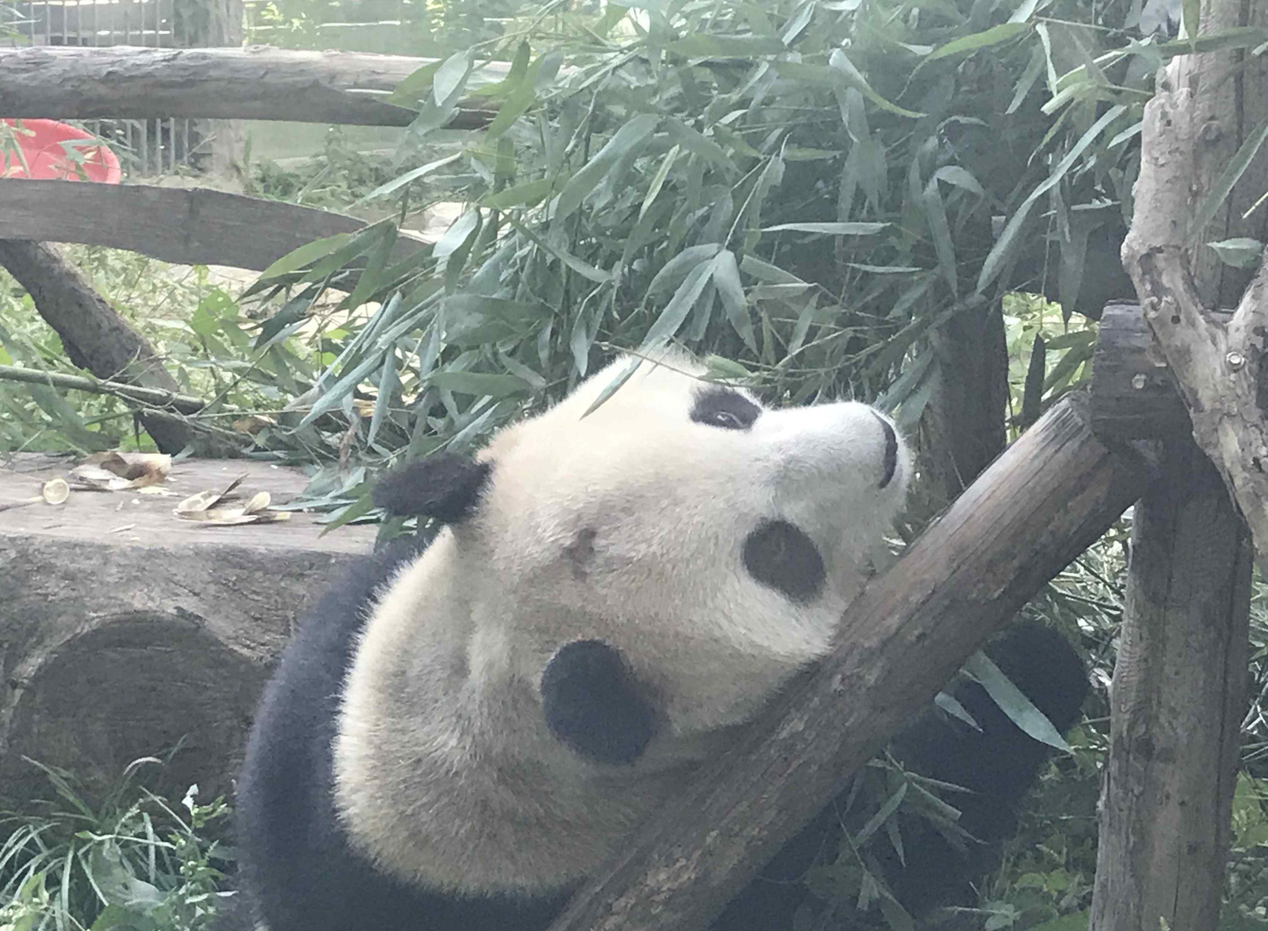 """大熊猫遭遇""""谢顶""""危机 北京动物园网红大熊猫""""突然头秃"""""""