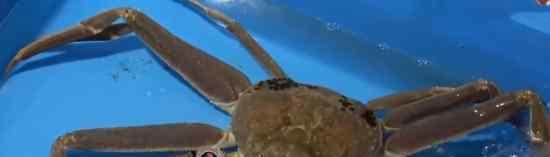日本螃蟹500万 破吉尼斯世界纪录  具体情况