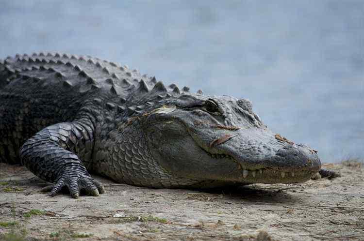 11岁女孩斗鳄鱼 事件的真相是什么?