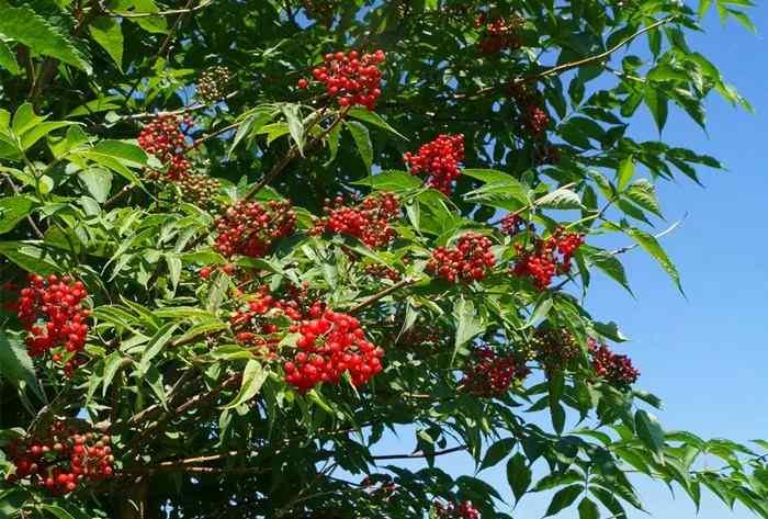 接骨木果 这种美丽又有用的果实,只有新疆才有