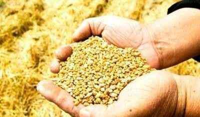 麦子 小麦与中国
