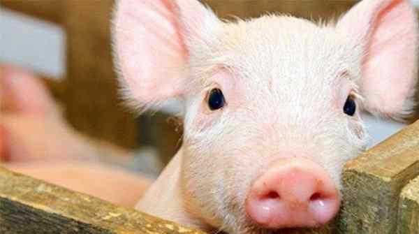 天津蓟州现非洲猪瘟,当地养殖户损失惨重