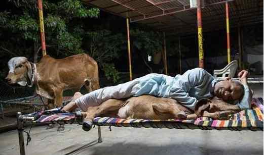 抛妻与母牛共住 每日以牛粪及牛尿作早餐