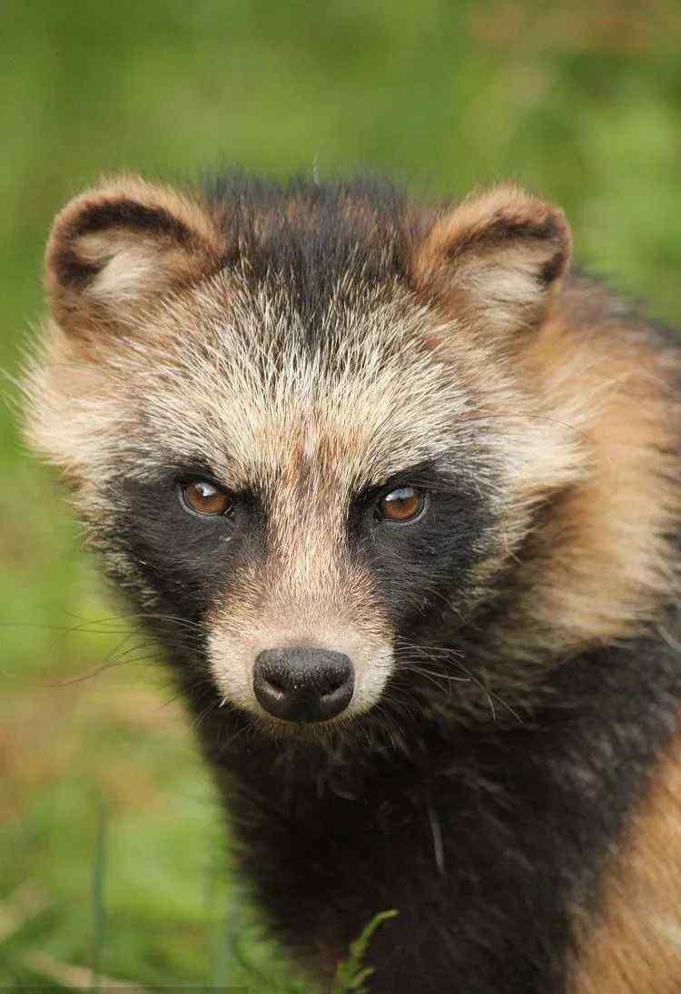 小浣熊吧 你买的国产小浣熊其实是只土狗子 ······
