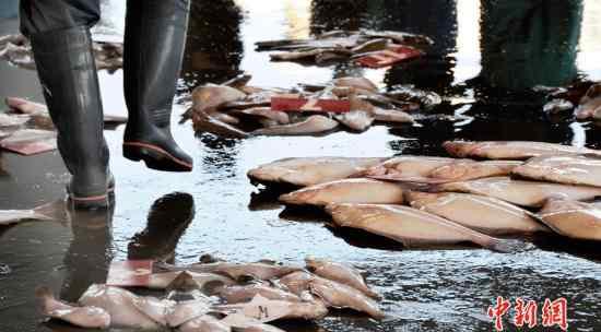 黑帮生意 黑帮生意越来越难做 日本山口组成员非法捕鱼谋生