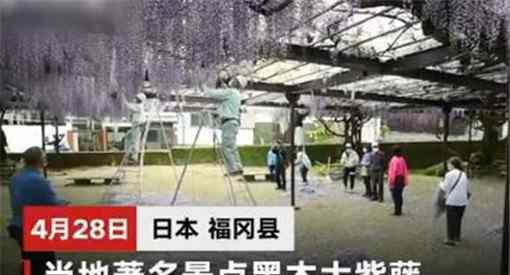 600岁巨型紫藤花被全部剪掉原因居然是因为这个