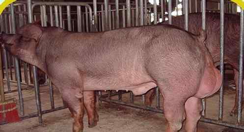 """""""山西广灵:勤劳双手养殖良种猪,脱贫路上相伴奔小康"""""""