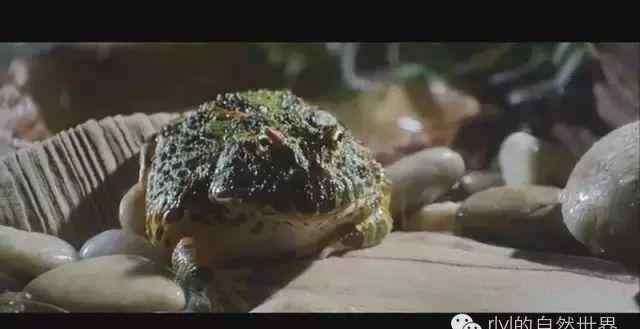 八一八呆萌角蛙的吃货世界