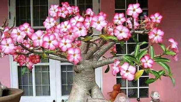 """它被誉为""""我国最美花树"""",四季常绿,一年花开230天"""