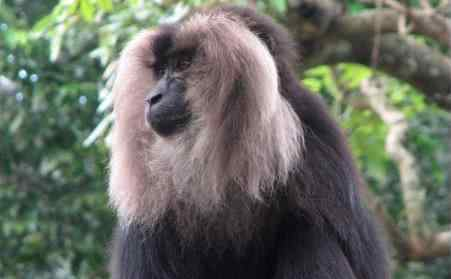 白化孟加拉虎 白化孟加拉虎,简称为白虎,是孟加拉虎的白化变种