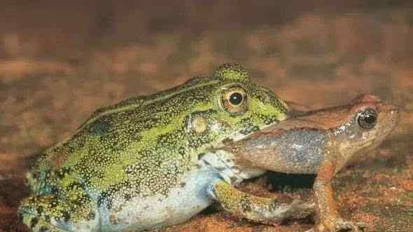 长牙青蛙 奇闻!贵州数万只长牙青蛙相互残杀吞食 蛙声一片血流满田