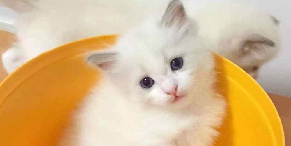 猫几个月成年 猫在不同年龄阶段的行为方式